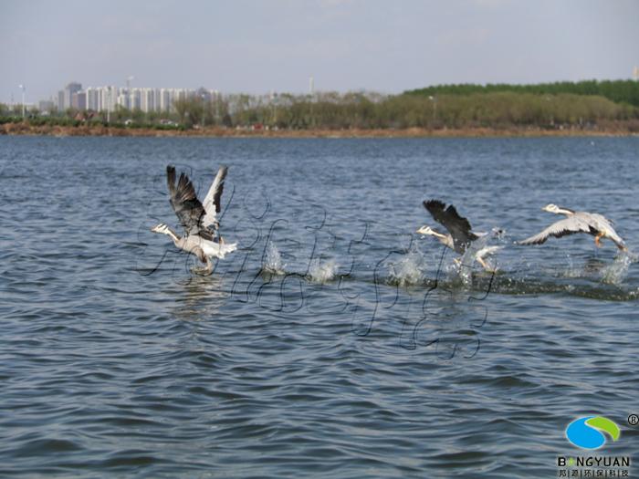 生态水环境之水鸟融为一体
